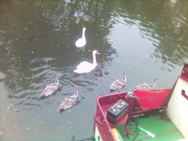 likkle swans
